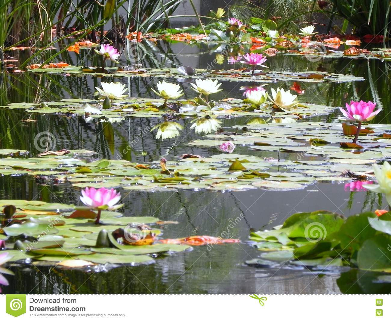 Lilly water