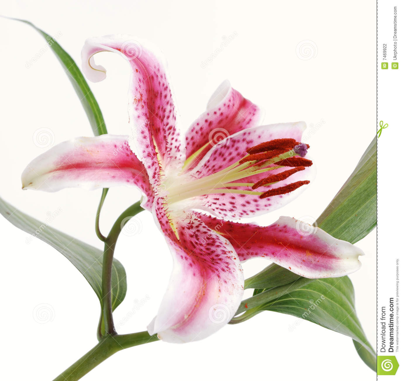 Lilly On White Background Stock Photography Image 7469922