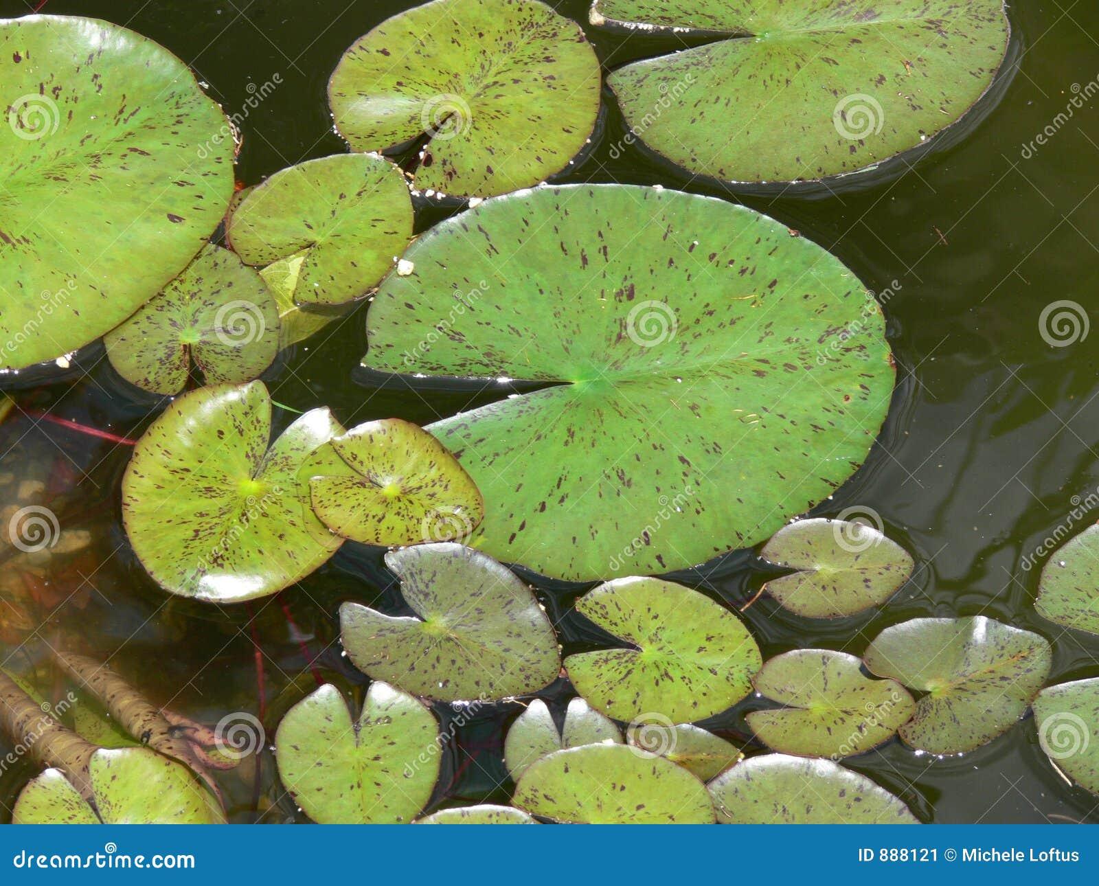 Lilly zielonych podkładek wody