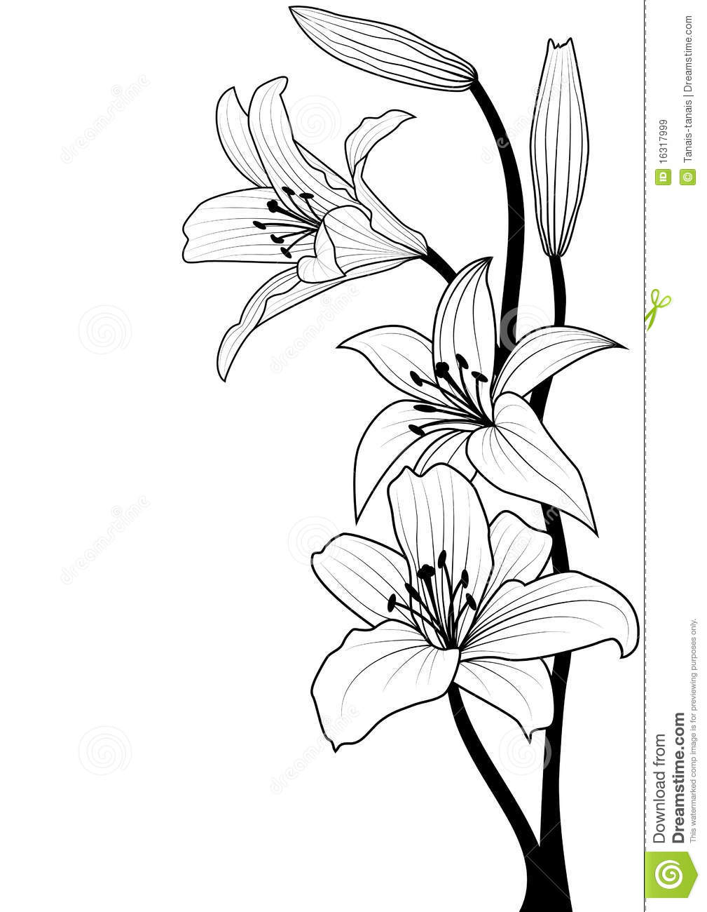 Green Flower Line Drawing : Lily royalty free stock images image