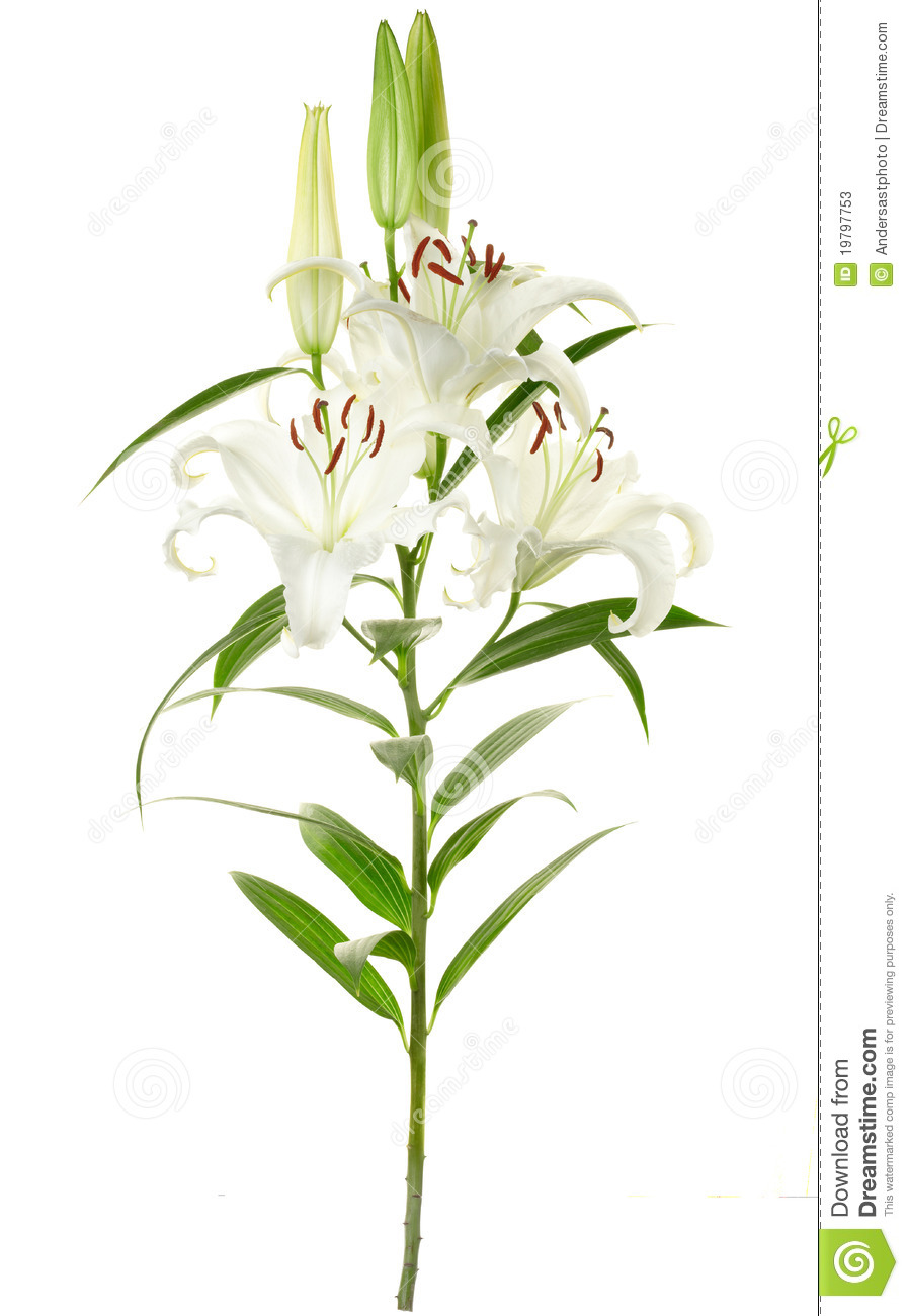 Lily branch with long stem isolated on white, clipping path included.