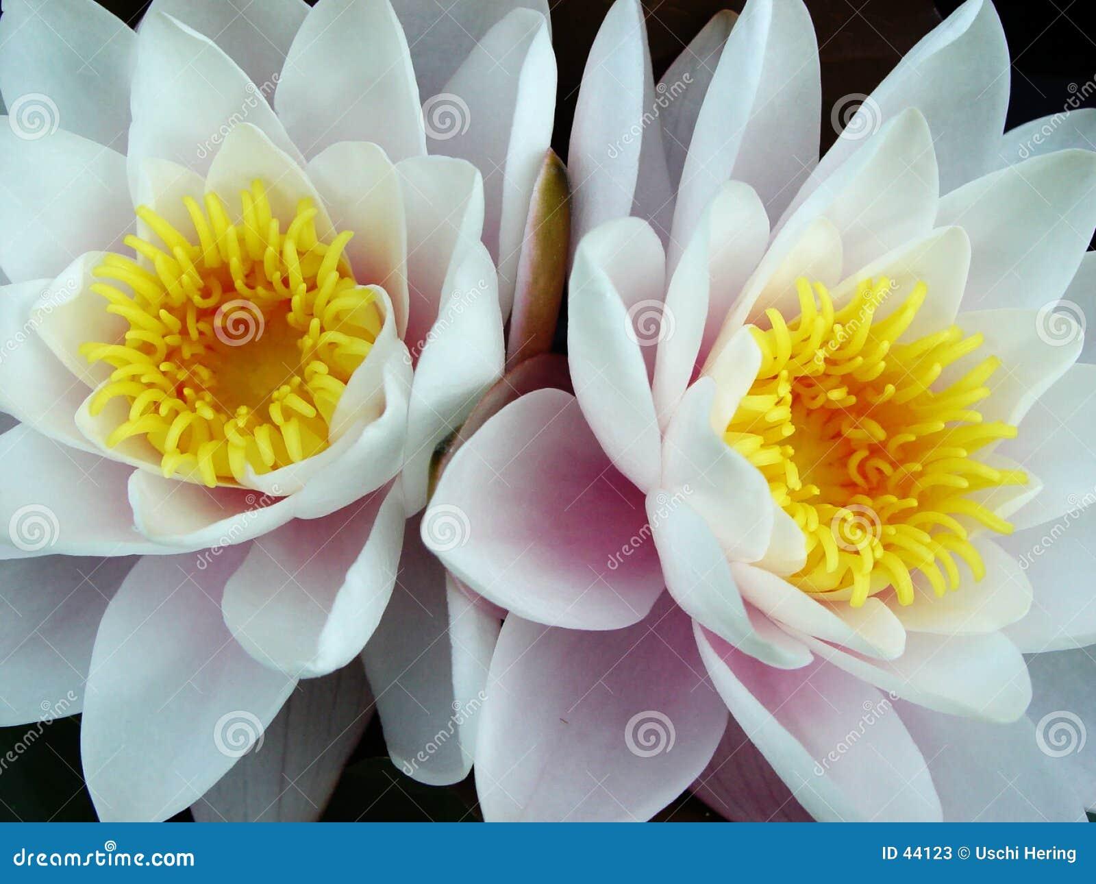 Lily bliźniaków wody