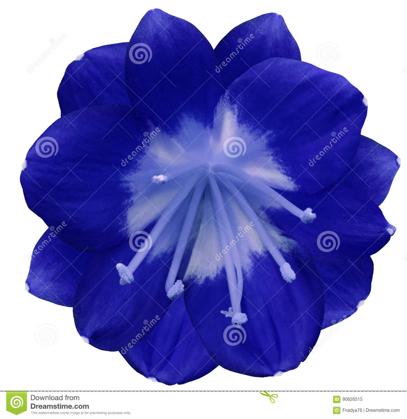 Lily Blue Flower Isolated With Clipping Path On A White Background