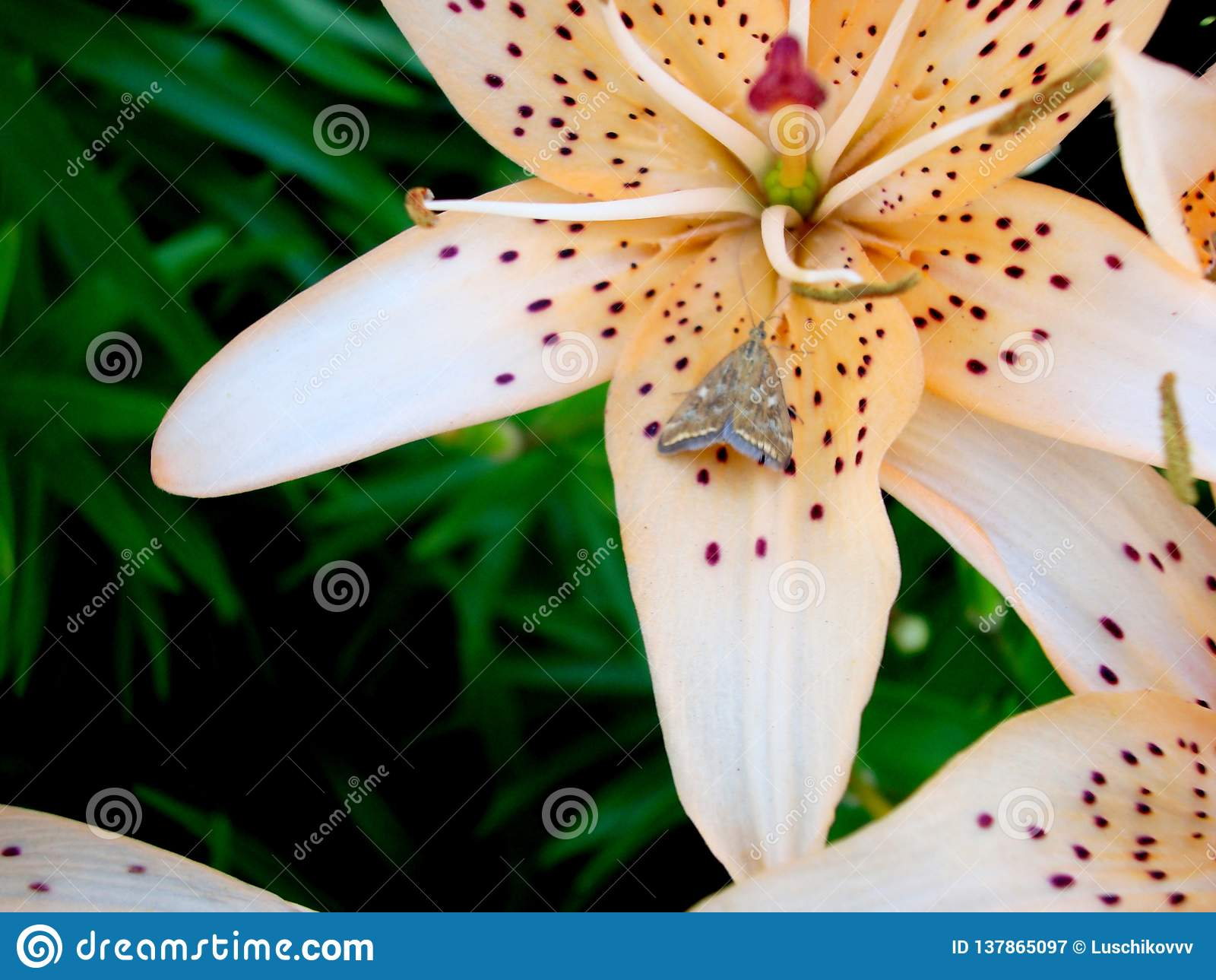 Lily with a butterfly on a flower.