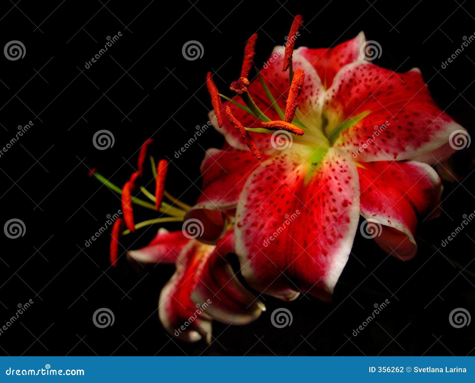 Lily czerwony