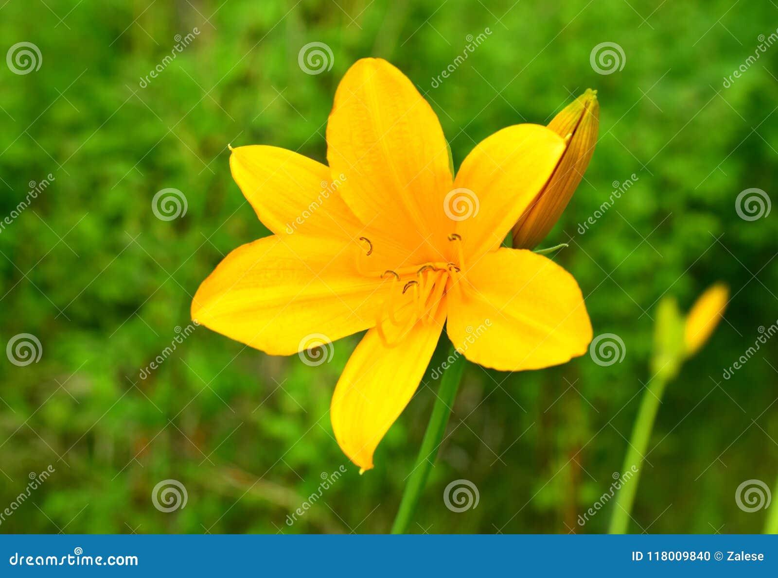 Lily Daylilies jaune