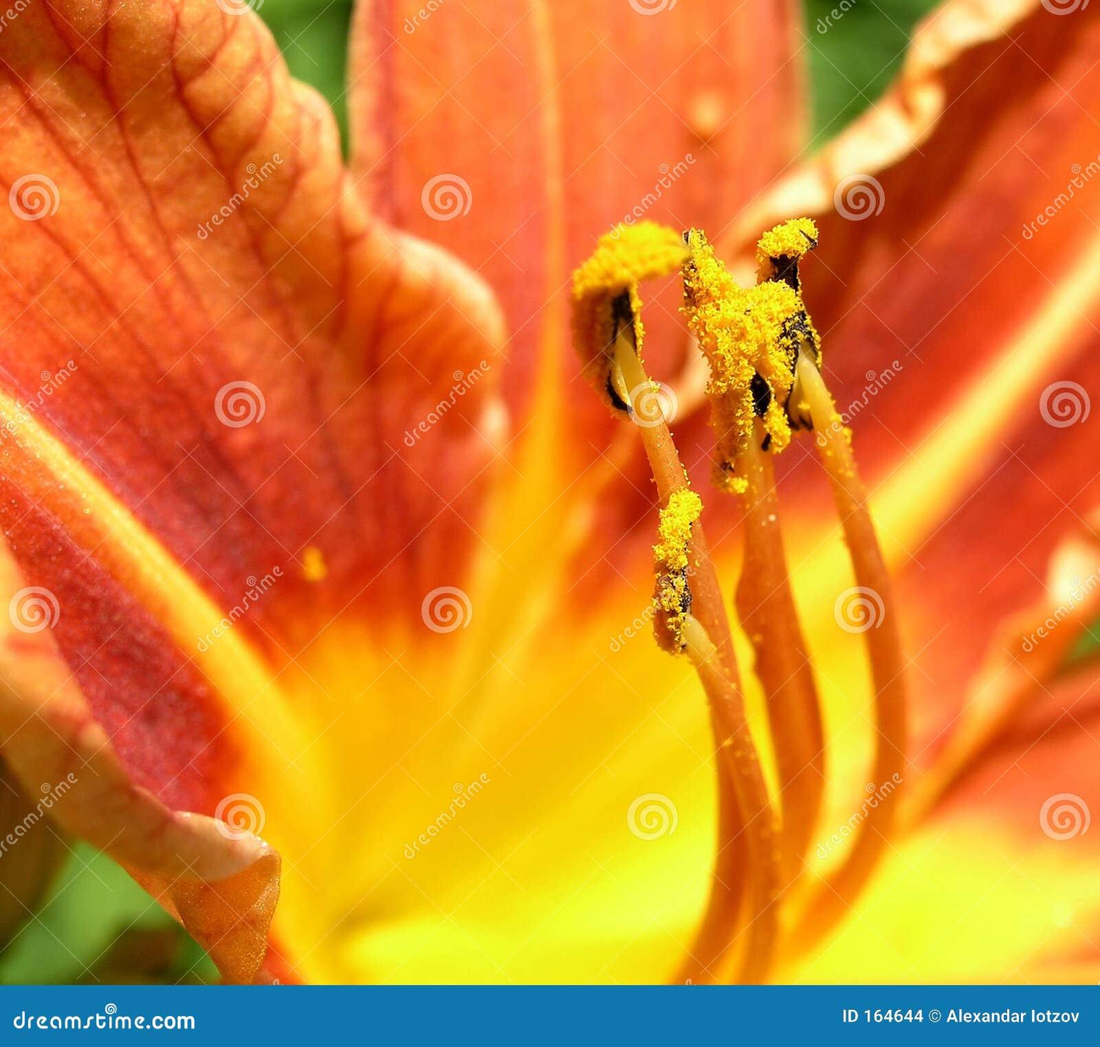 Lily filaments