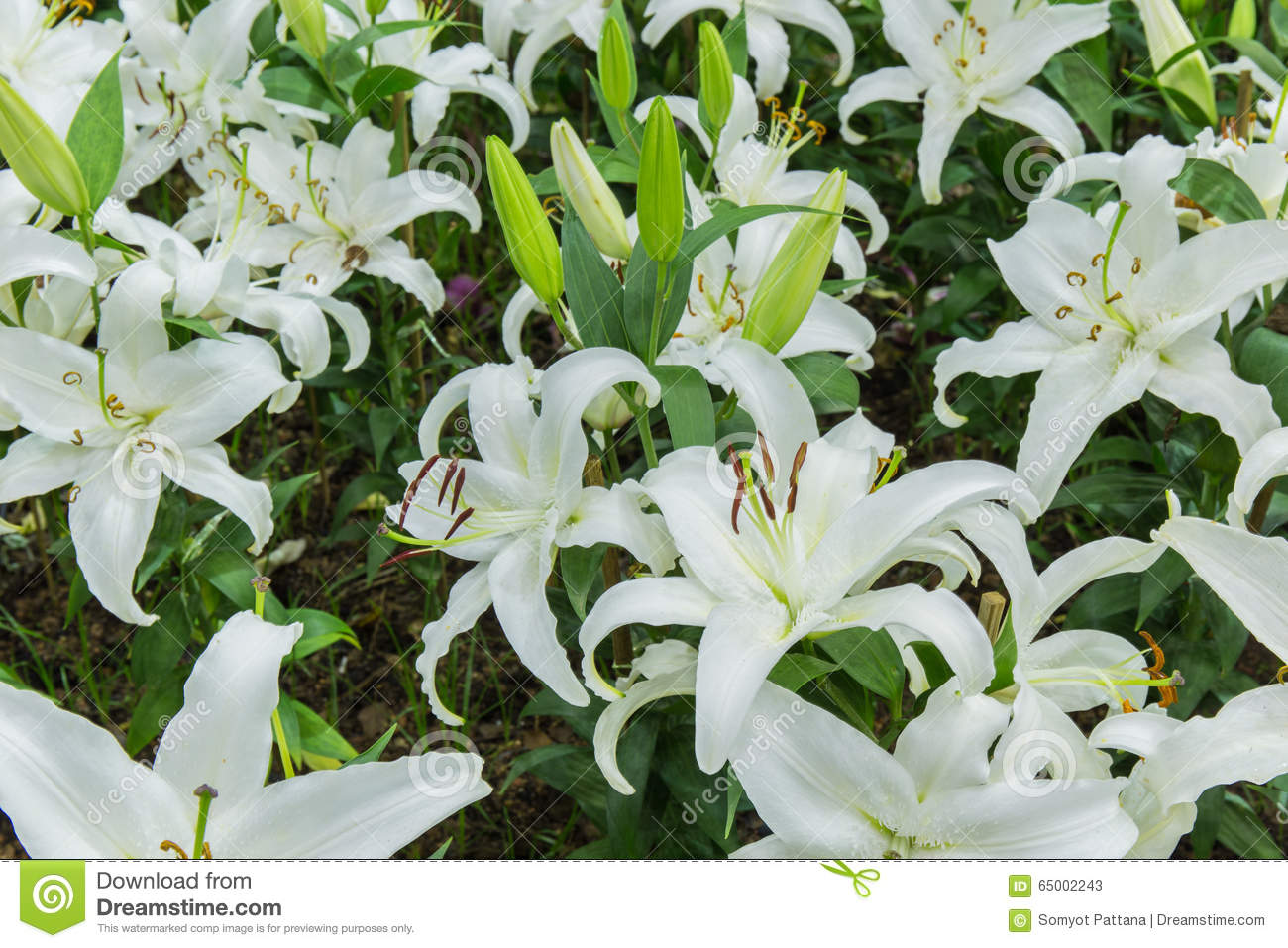 Lily flower stock image image of anther summer outside 65002243 download lily flower stock image image of anther summer outside 65002243 izmirmasajfo
