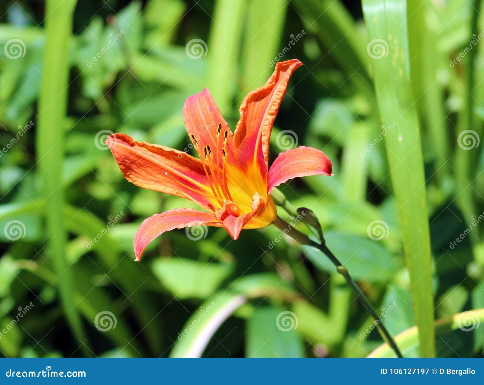 Lily Flower Beautiful Orange Flower In Summer Stock Image Image