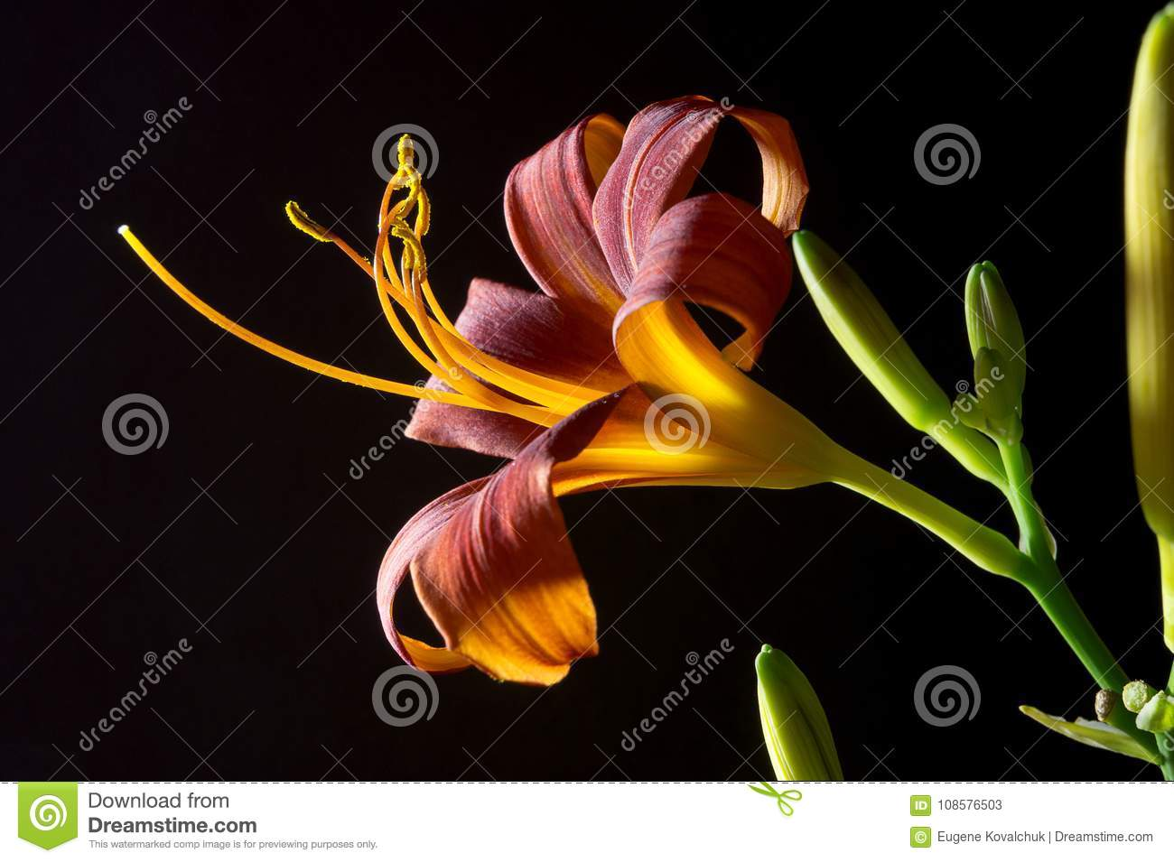 Lily Flower On A Black Background 6 Stock Image Image Of Drops