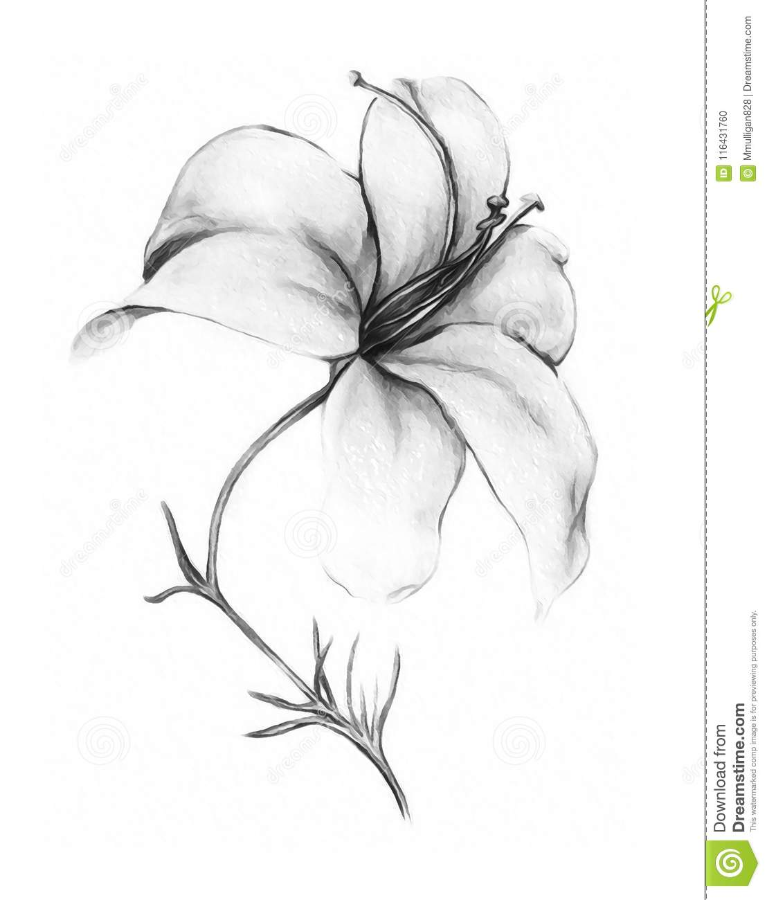 Lily flower in black and white stock illustration