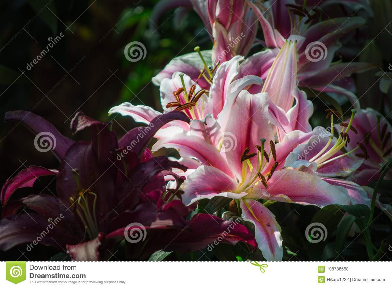 Lily Flower Are Blooming In The Garden Stock Photo Image Of