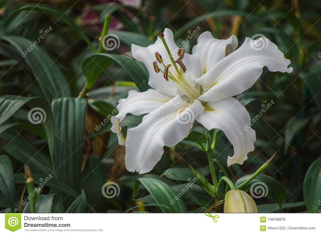 Lily Flower Are Blooming In The Garden Stock Photo Image Of Bloom