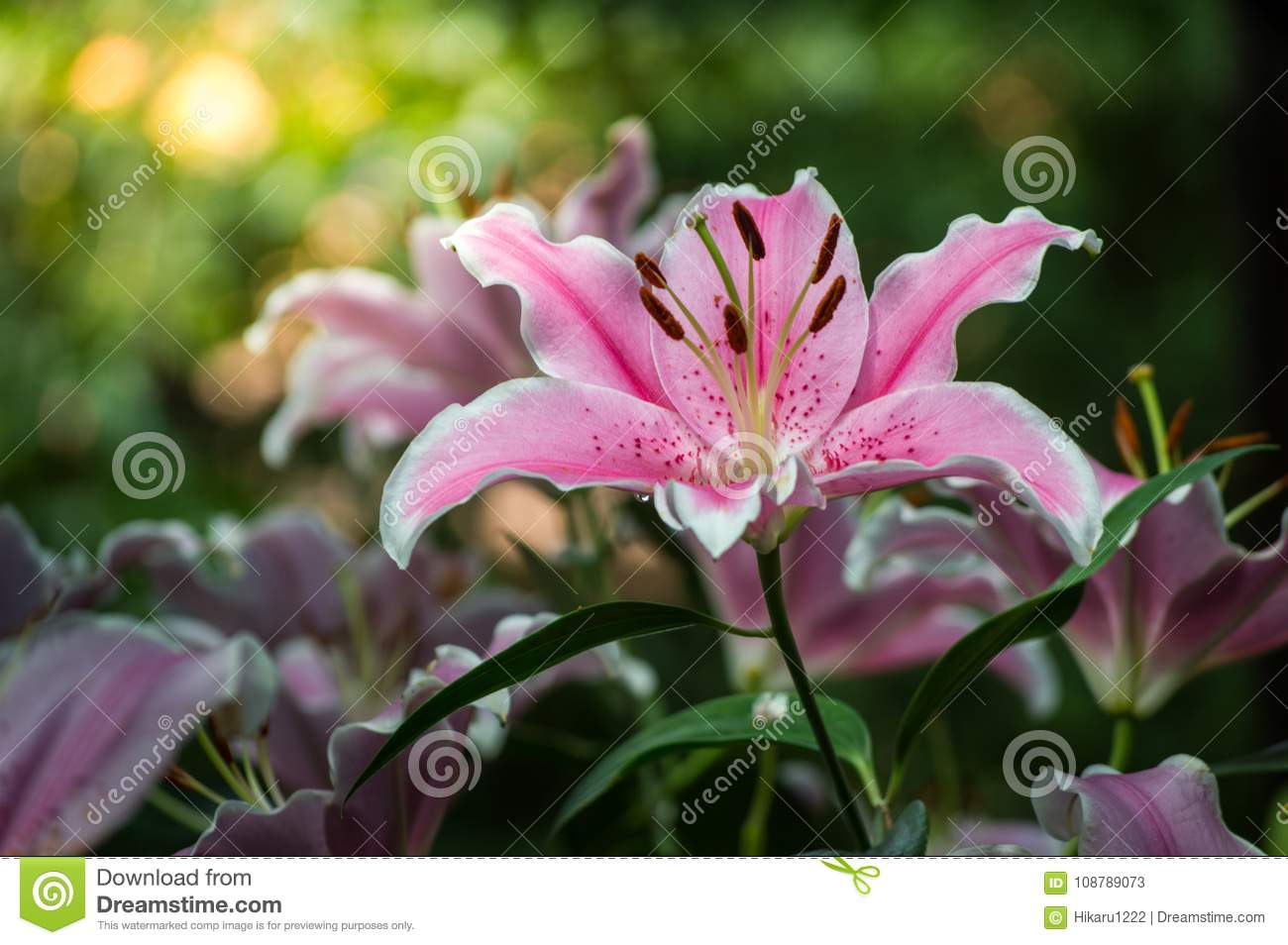 Lily Flower Are Blooming In The Garden Stock Image Image Of Fresh