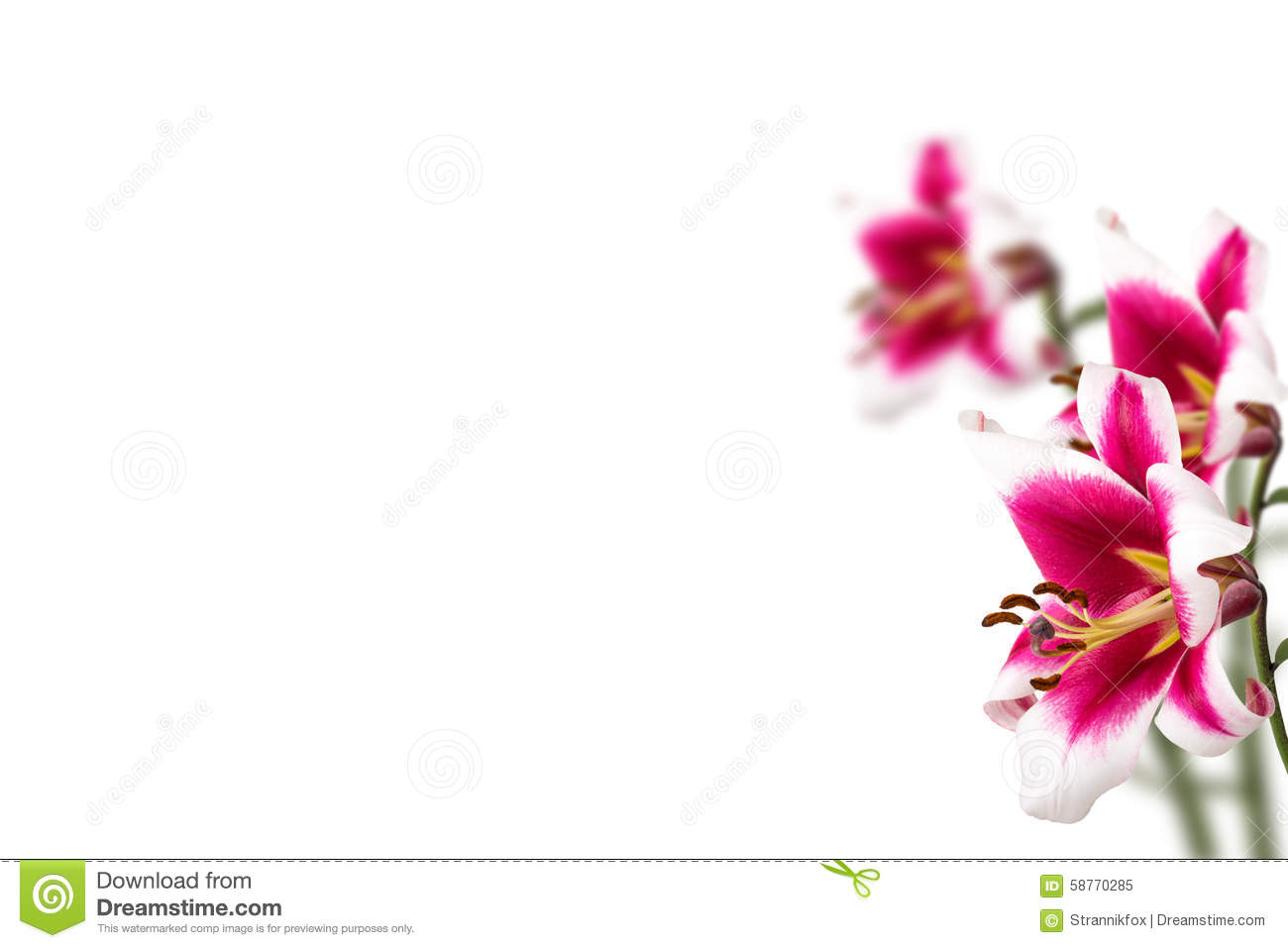 Lily flower border design isolated on white background stock photo background border design flower lily dhlflorist Images