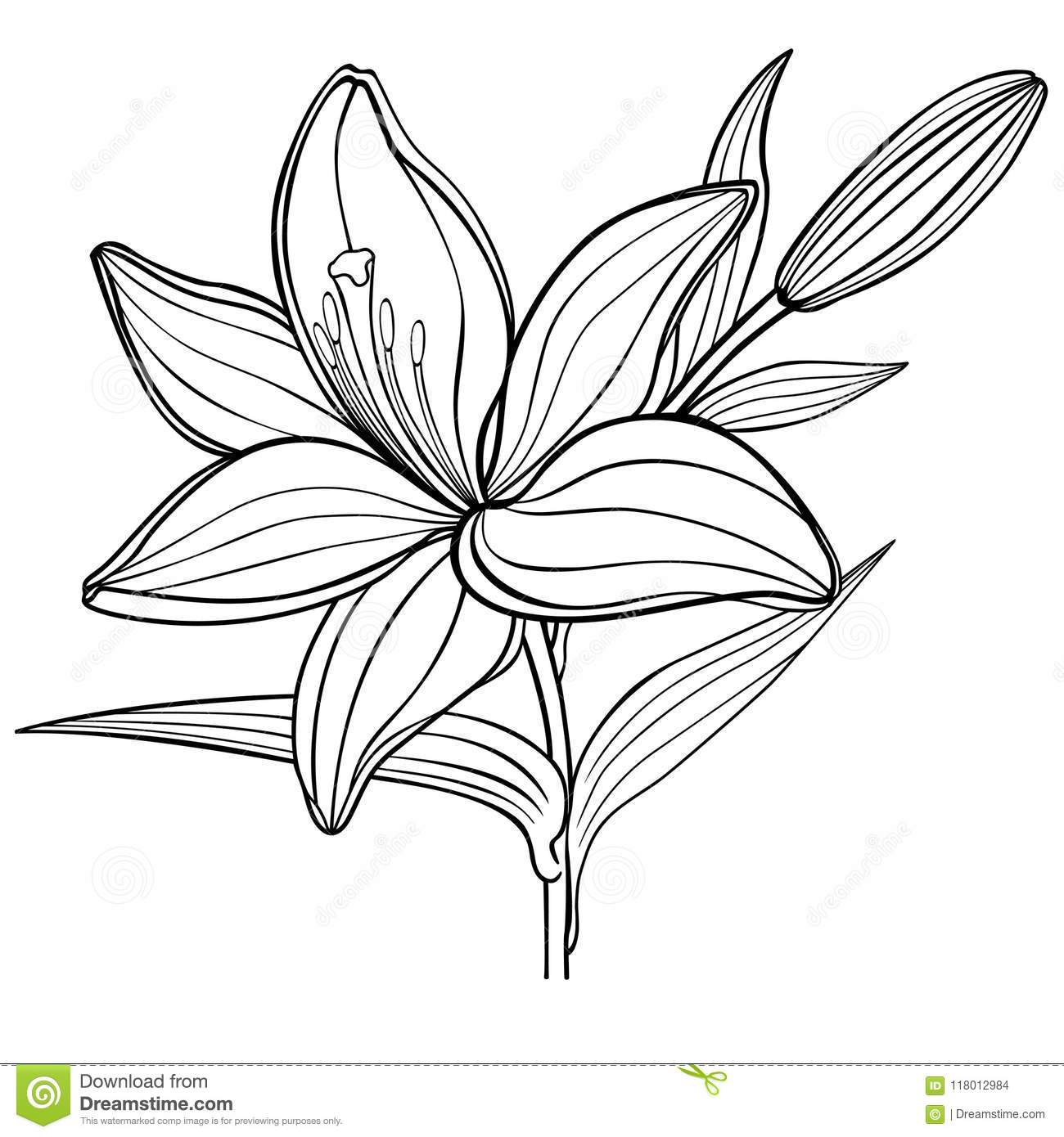 A Lily Flower With A Bud Black And White Linear Drawing Coloring