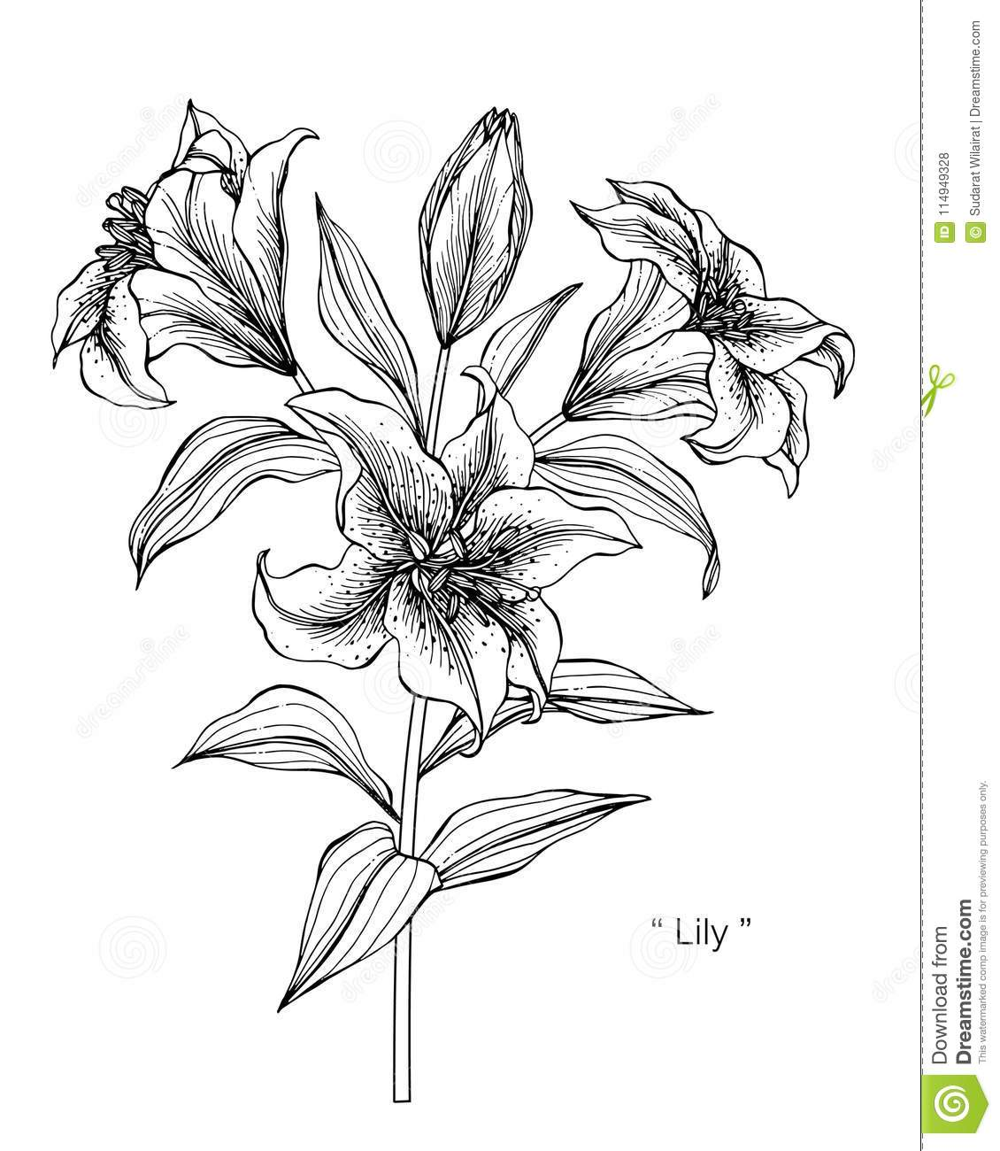 Lily Flower Drawing Illustration Black And White With Line Art