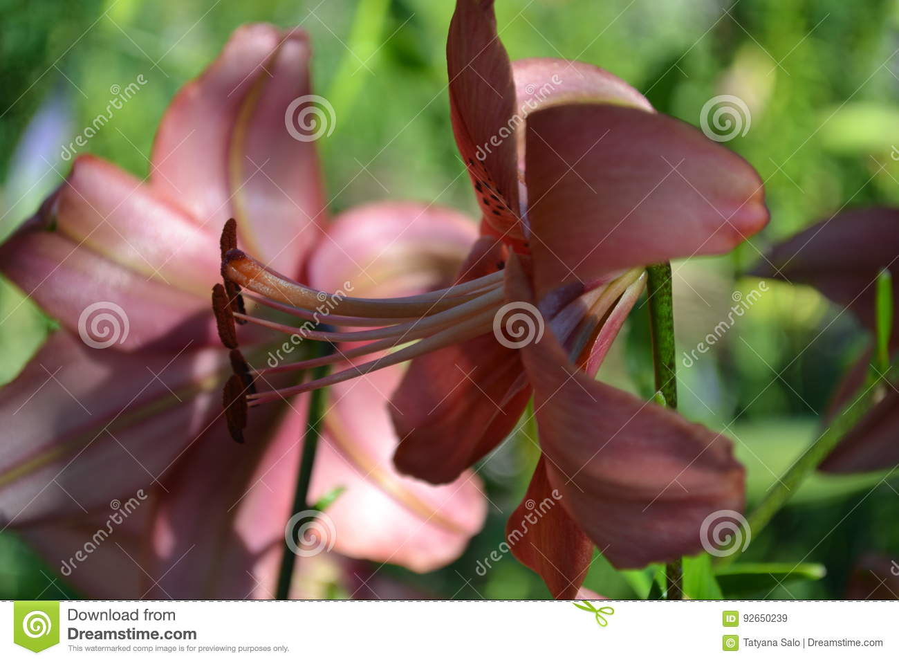 Lily flower stock image image of flower plant yellow 92650239 lily flower izmirmasajfo
