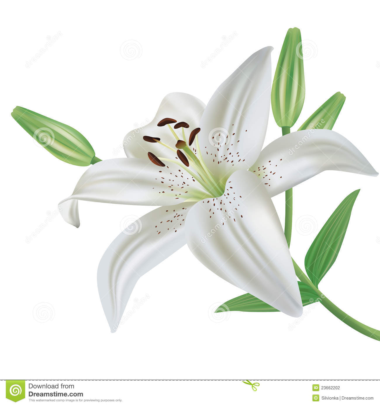 Lily Flower Isolated On White Background Stock Vector