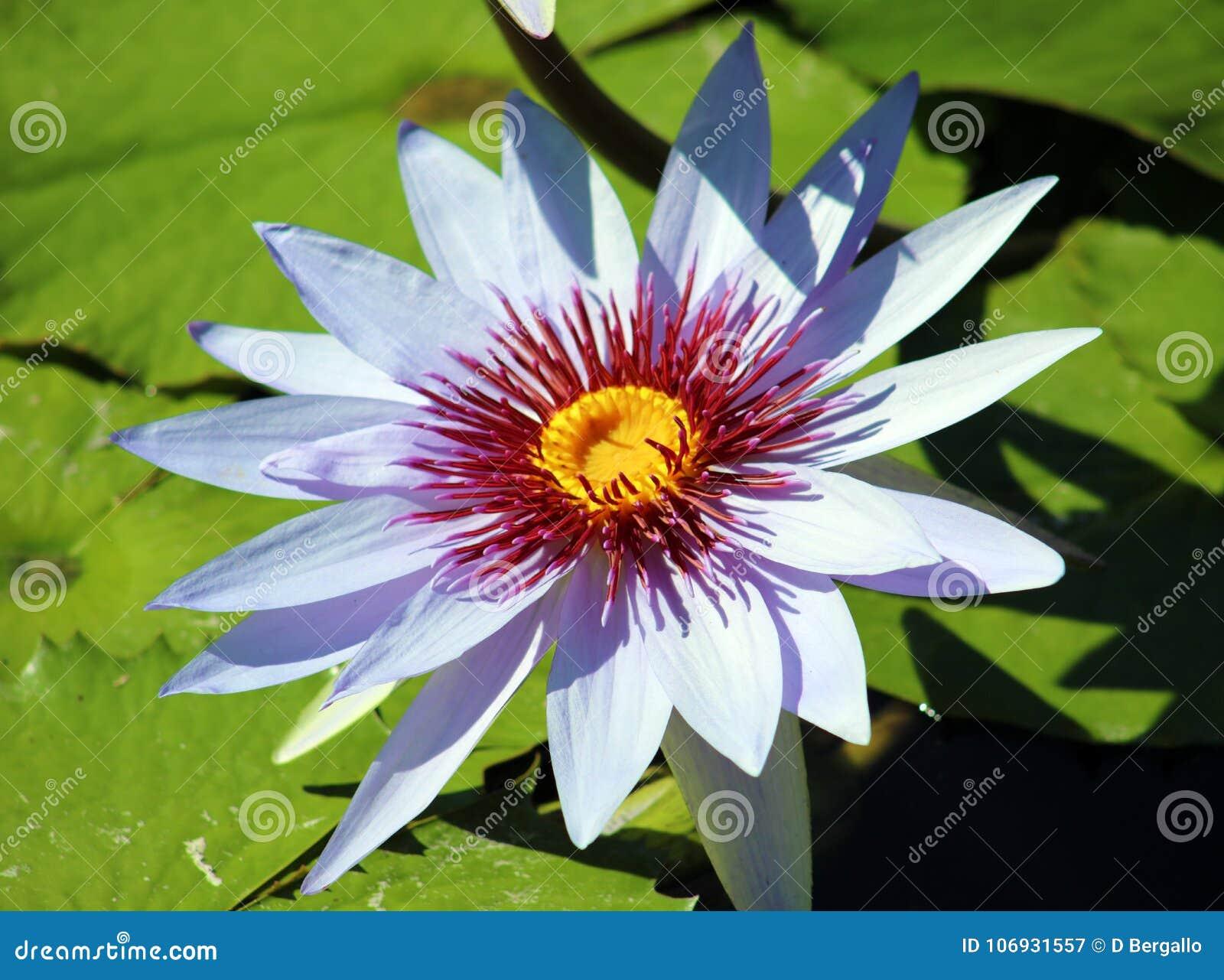 Lily Flower Loto Purple Flor De Loto Beautful Colors Stock Image