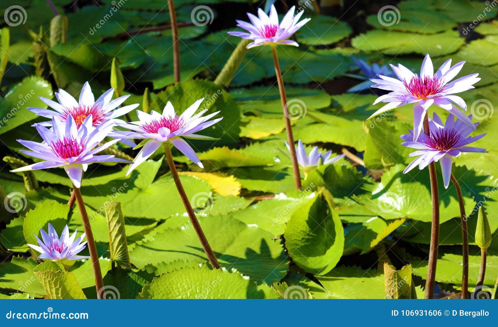 Lily Flower Loto Purple Flor De Loto Beautful Colors Stock Photo