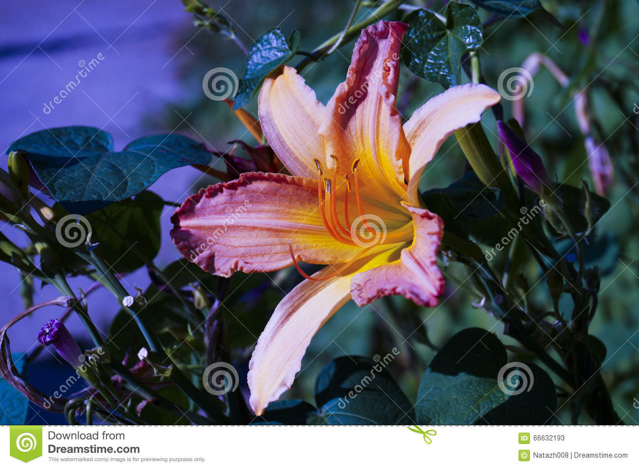 Lily Flower With Multicolored Petals Stock Image Image Of Colors