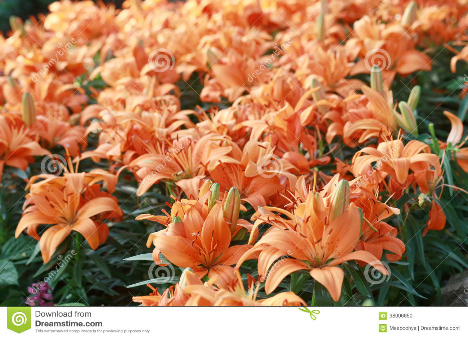 94394d173c6a4 Lily Flower Of Orange Color Bloom. Stock Photo - Image of orange ...