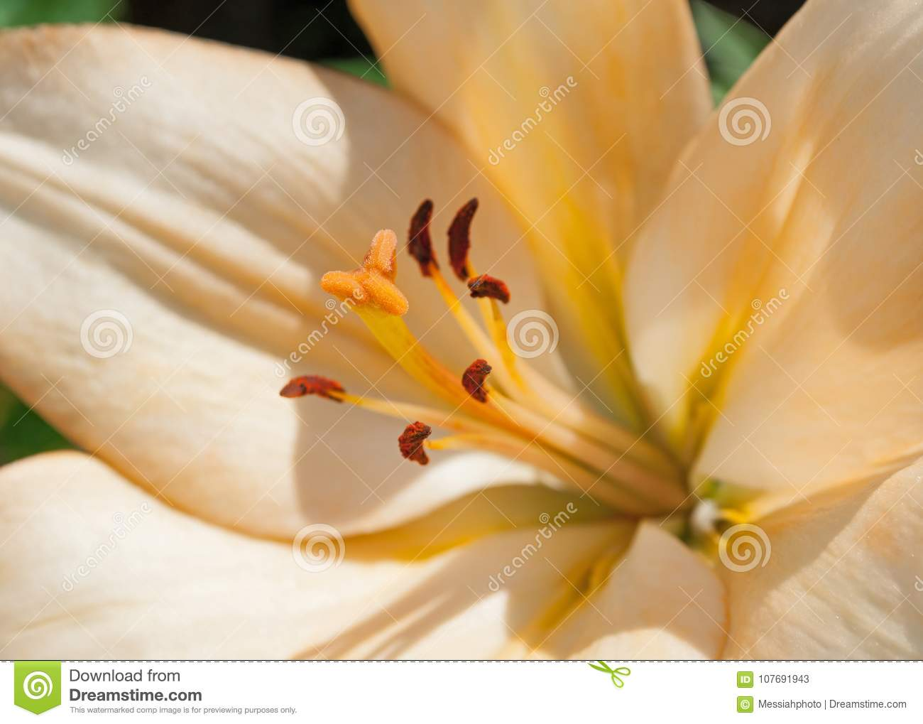 Lily flower of peach color blooming in the garden stock image lily flower of peach color blooming in the garden izmirmasajfo Choice Image