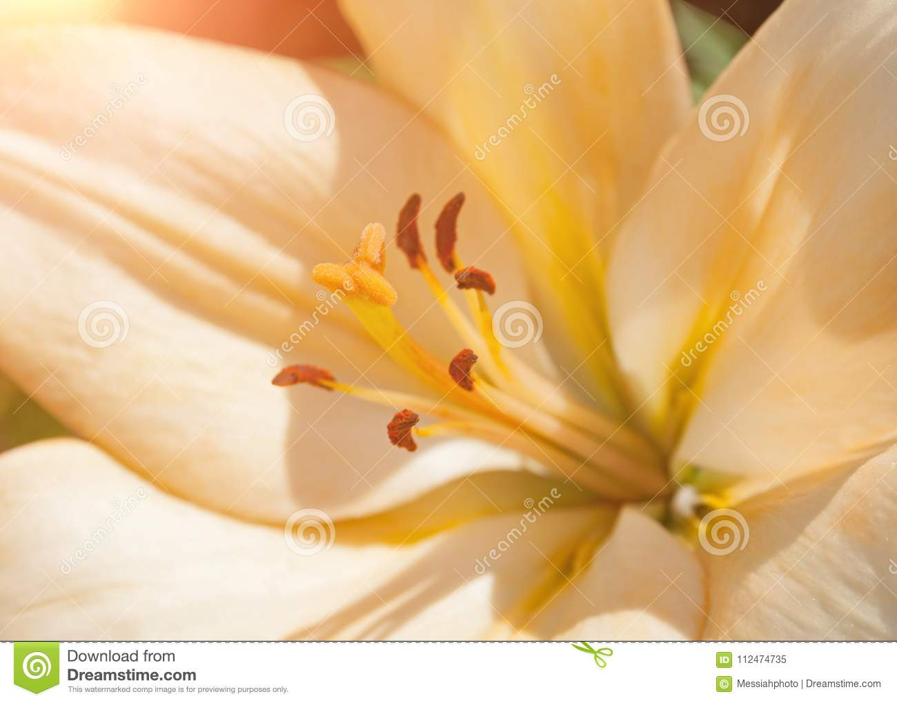 Lily flower of peach color blooming in the spring garden stock image download comp izmirmasajfo