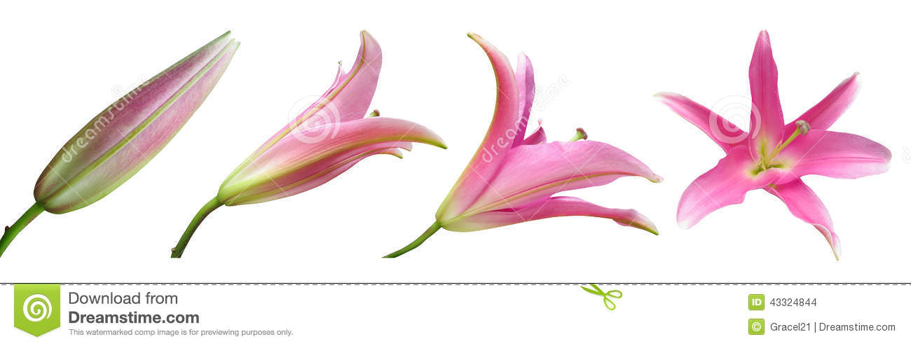 Lily flower stages stock photos royalty free pictures mightylinksfo