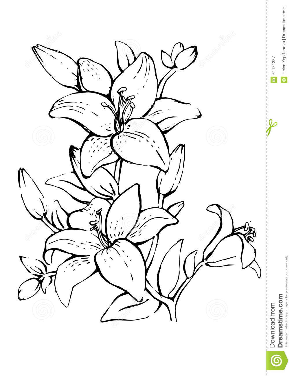 Line Drawing Flower Vector : Lily flower stock vector image