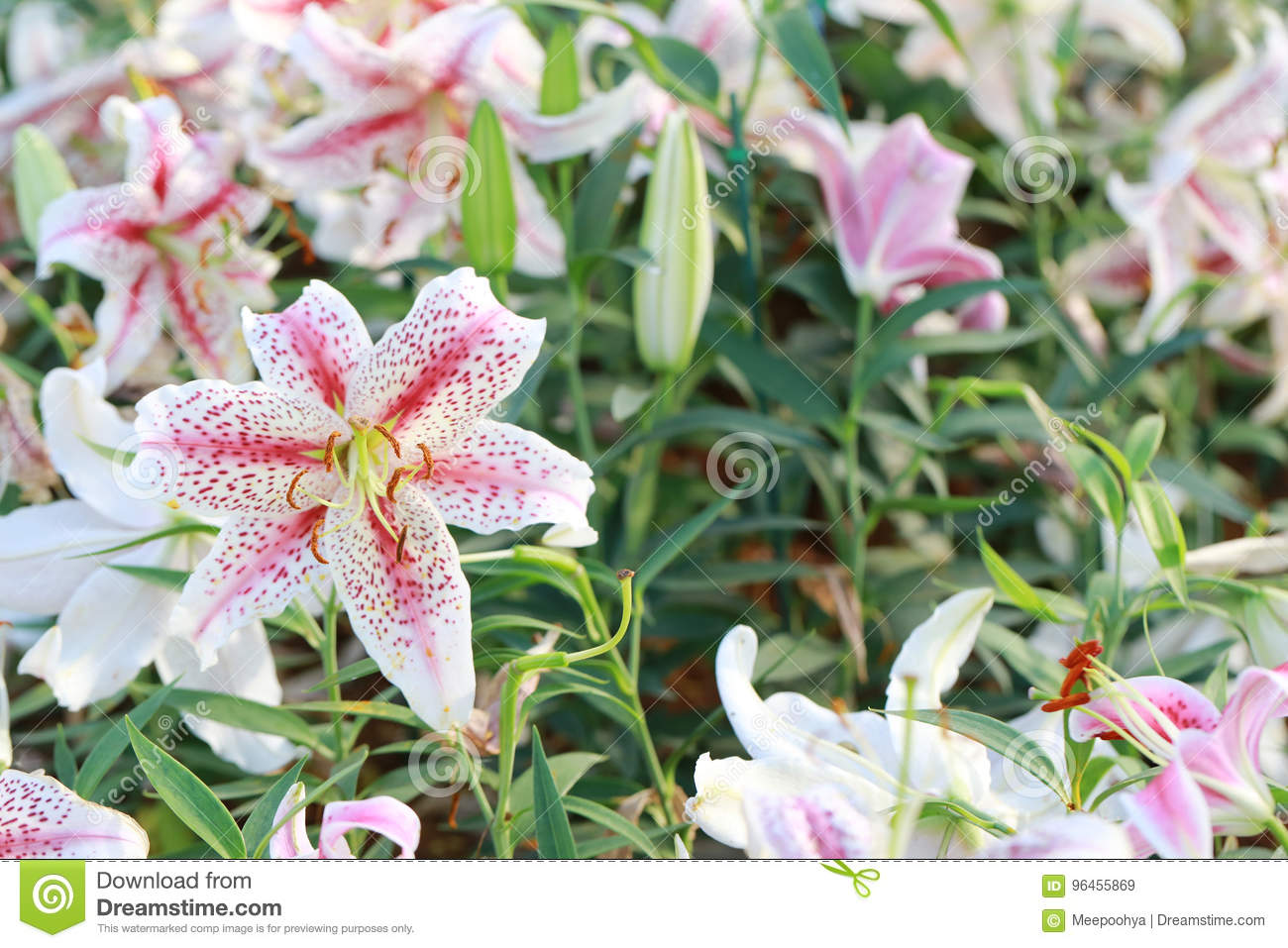 Lily flower of white mix pink color bloom stock image image of royalty free stock photo izmirmasajfo Choice Image