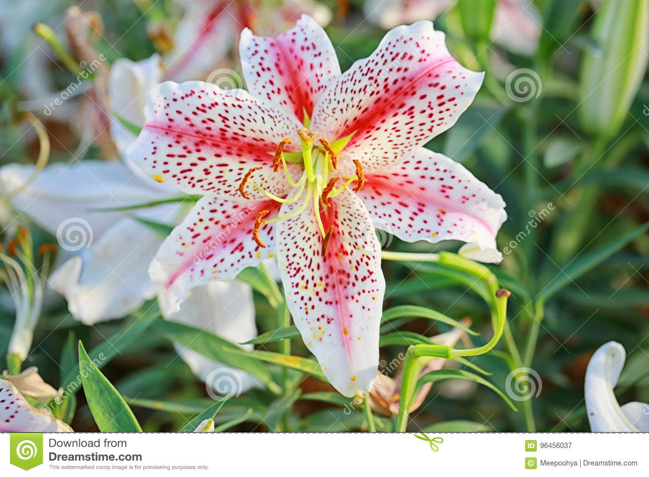 Lily Flower Of White Mix Pink Color Bloom Stock Image Image Of