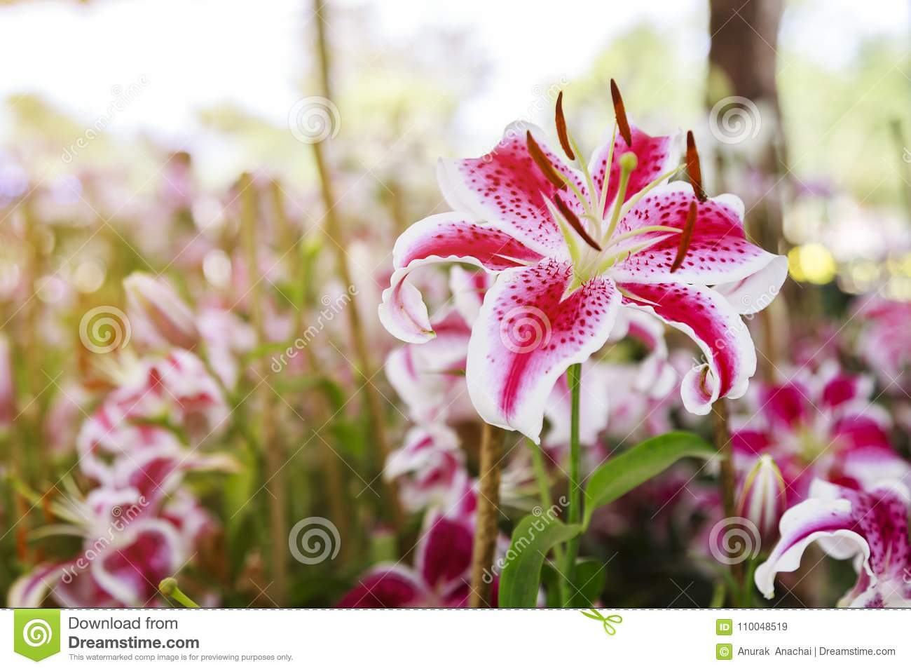 Pink lilies flower close up stock image image of outdoor flower download pink lilies flower close up stock image image of outdoor flower 110048519 izmirmasajfo