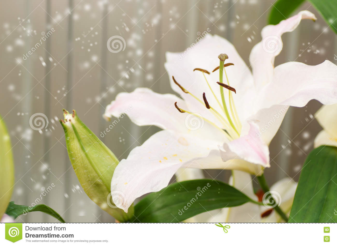 Lily flower stock image image of flora season decoration 80313609 winter seasonwhite lily flower in a garden with snowflower background in cold weather izmirmasajfo