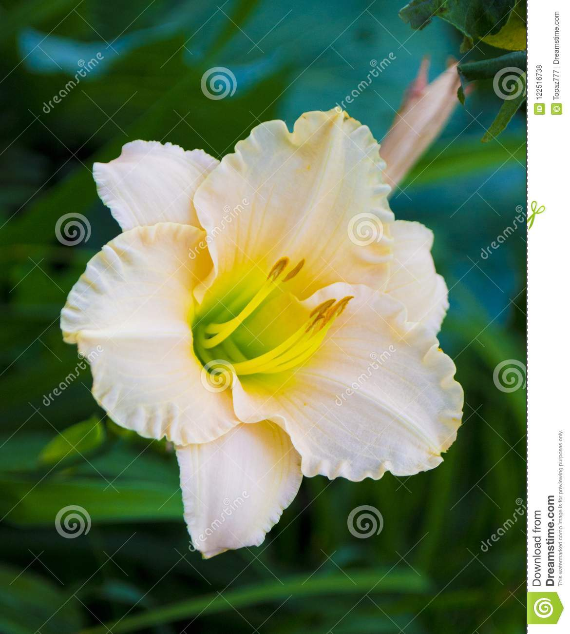 Lily Flowers Close Up Stock Photo Image Of Lilies Plant 122516738