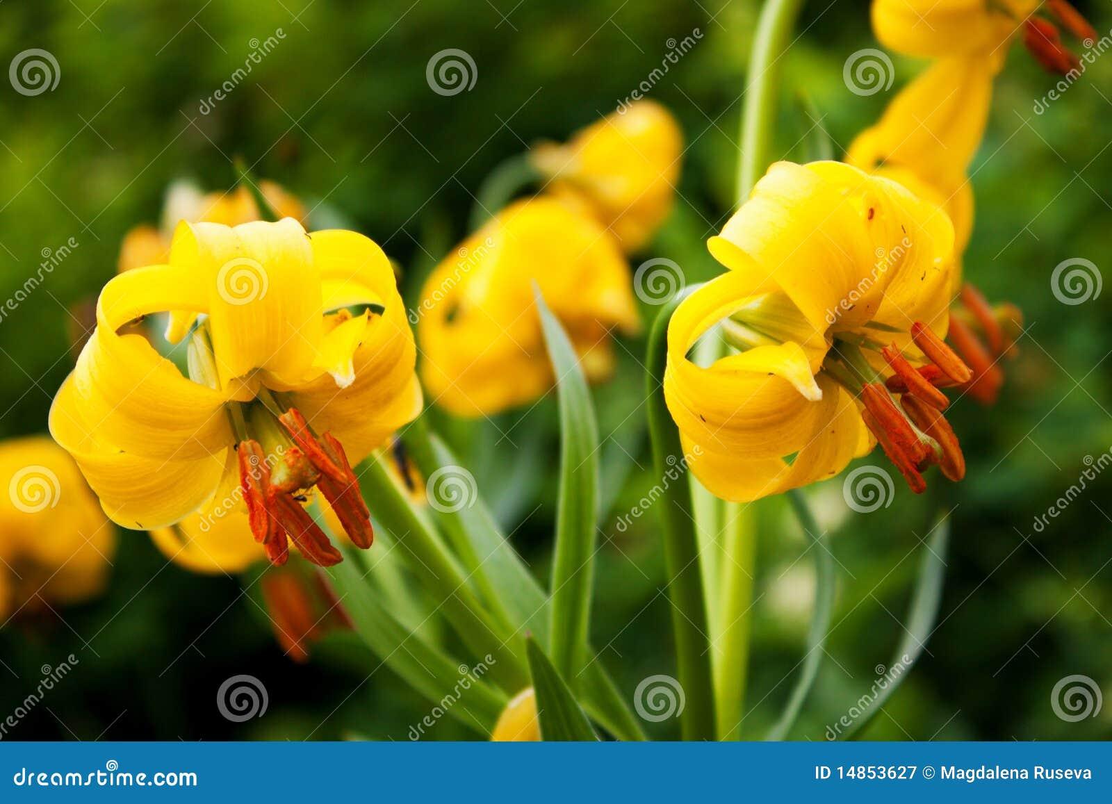 Lily flowers - Lilium jankae