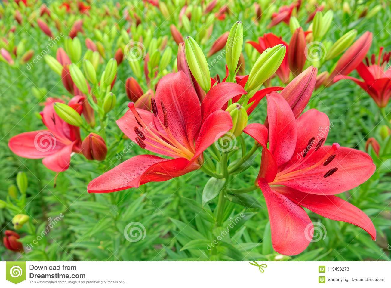 Lily flowers stock image. Image of lilium, color, flowers - 119498273