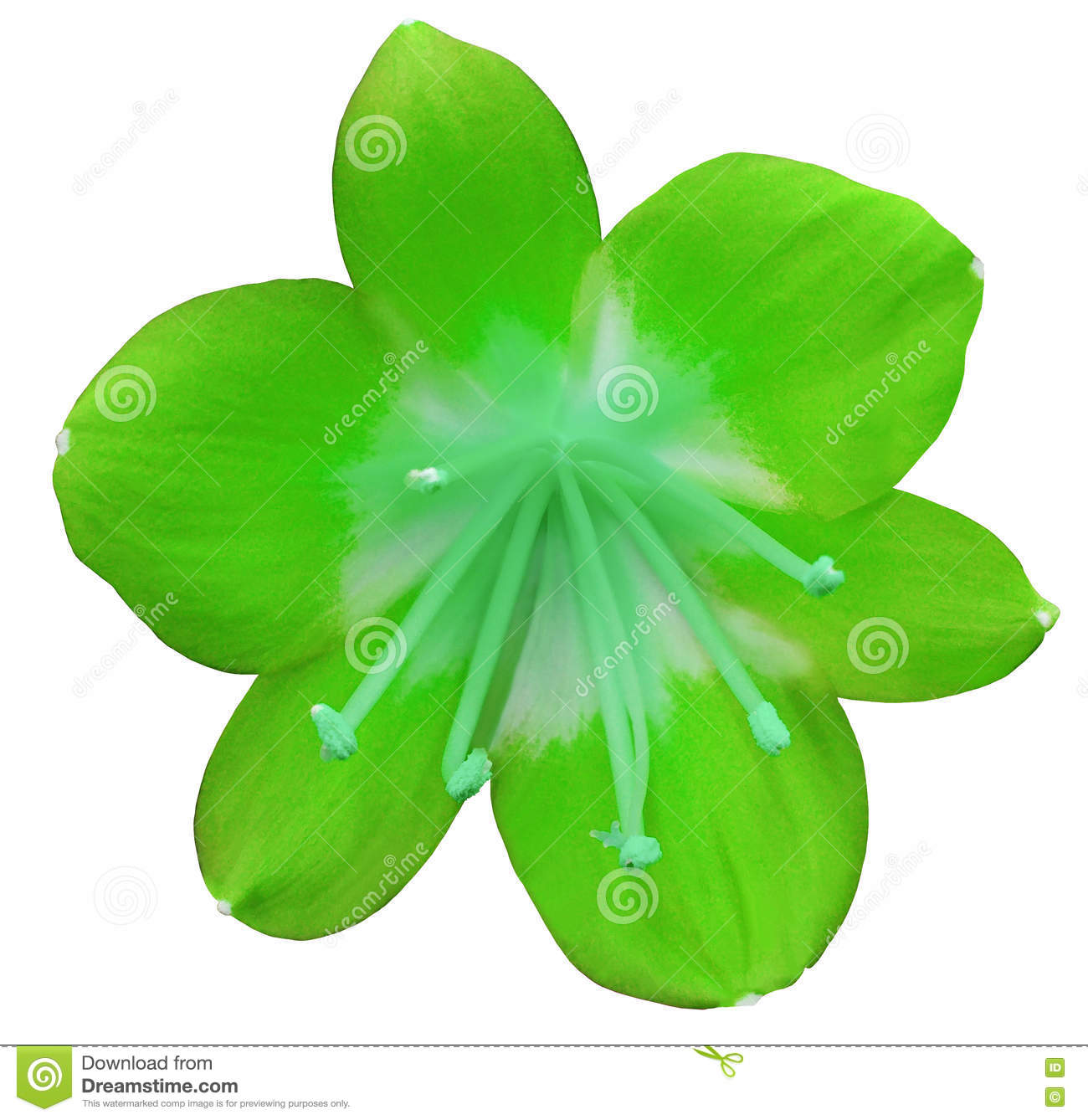 Lily Green Flower Isolated With Clipping Path On A White