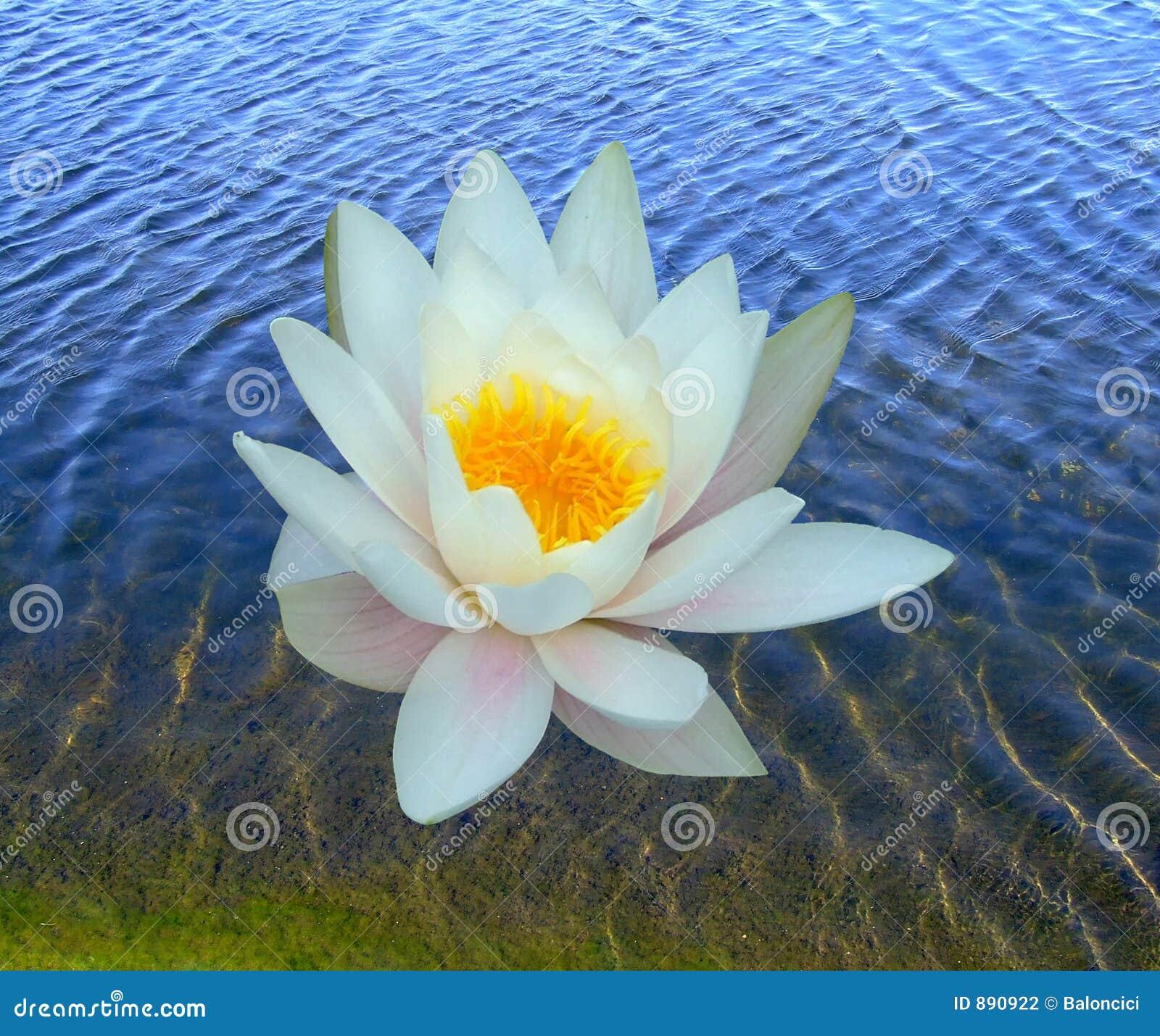 Lily, jedna woda