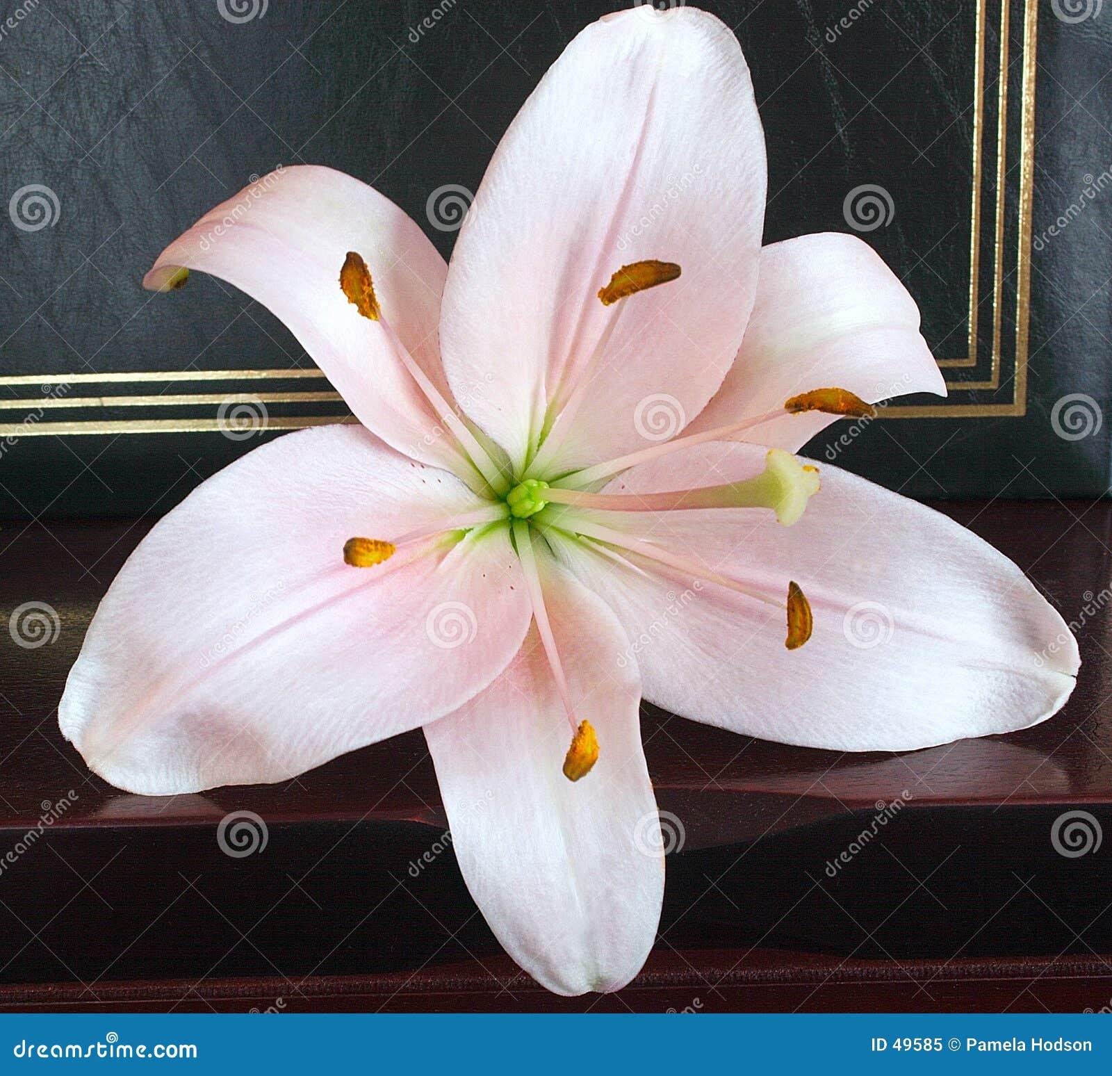 Lily jest różowa miękka