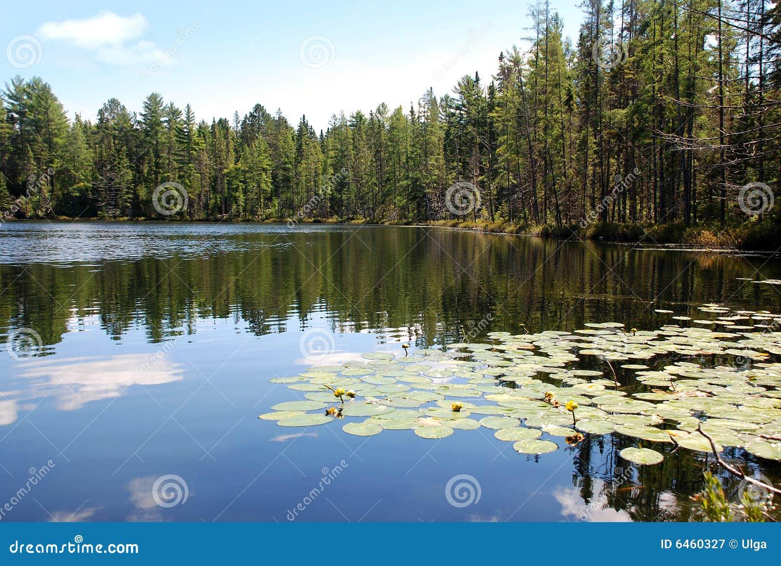 Lily jeziorni strażników
