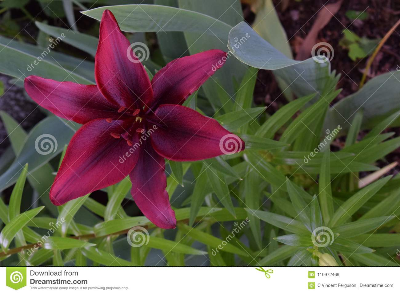 Lily maroon flower on green stock image image of lily nature download lily maroon flower on green stock image image of lily nature 110972469 izmirmasajfo