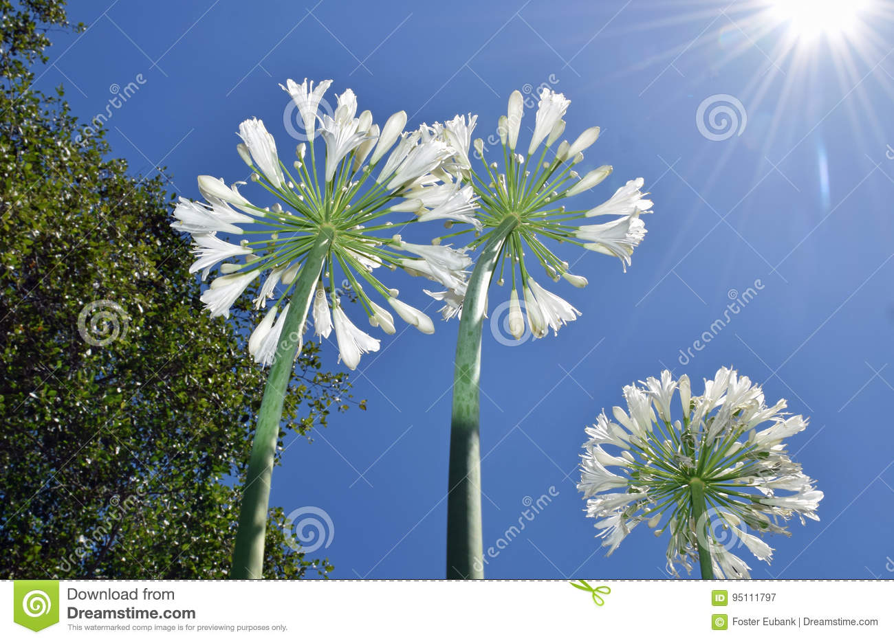 Lily of the nile agapanthus flowers growing toward the sky stock image shows several white lily of the nile or agapanthus flowers growing toward the sunlight izmirmasajfo