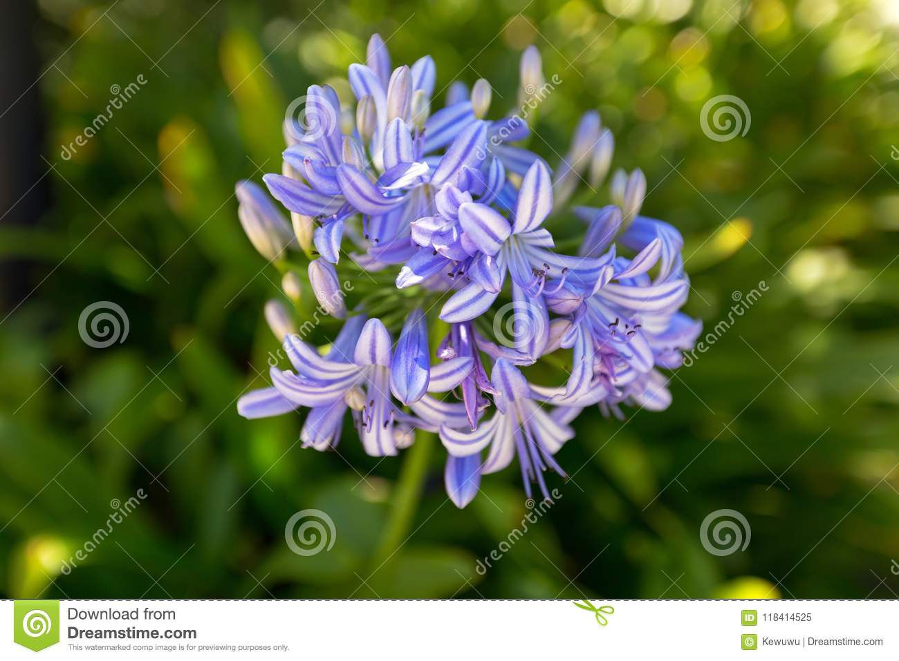 Lily of the nile flower in blue purple color also called africa lily of the nile flower in blue purple color also called africa izmirmasajfo