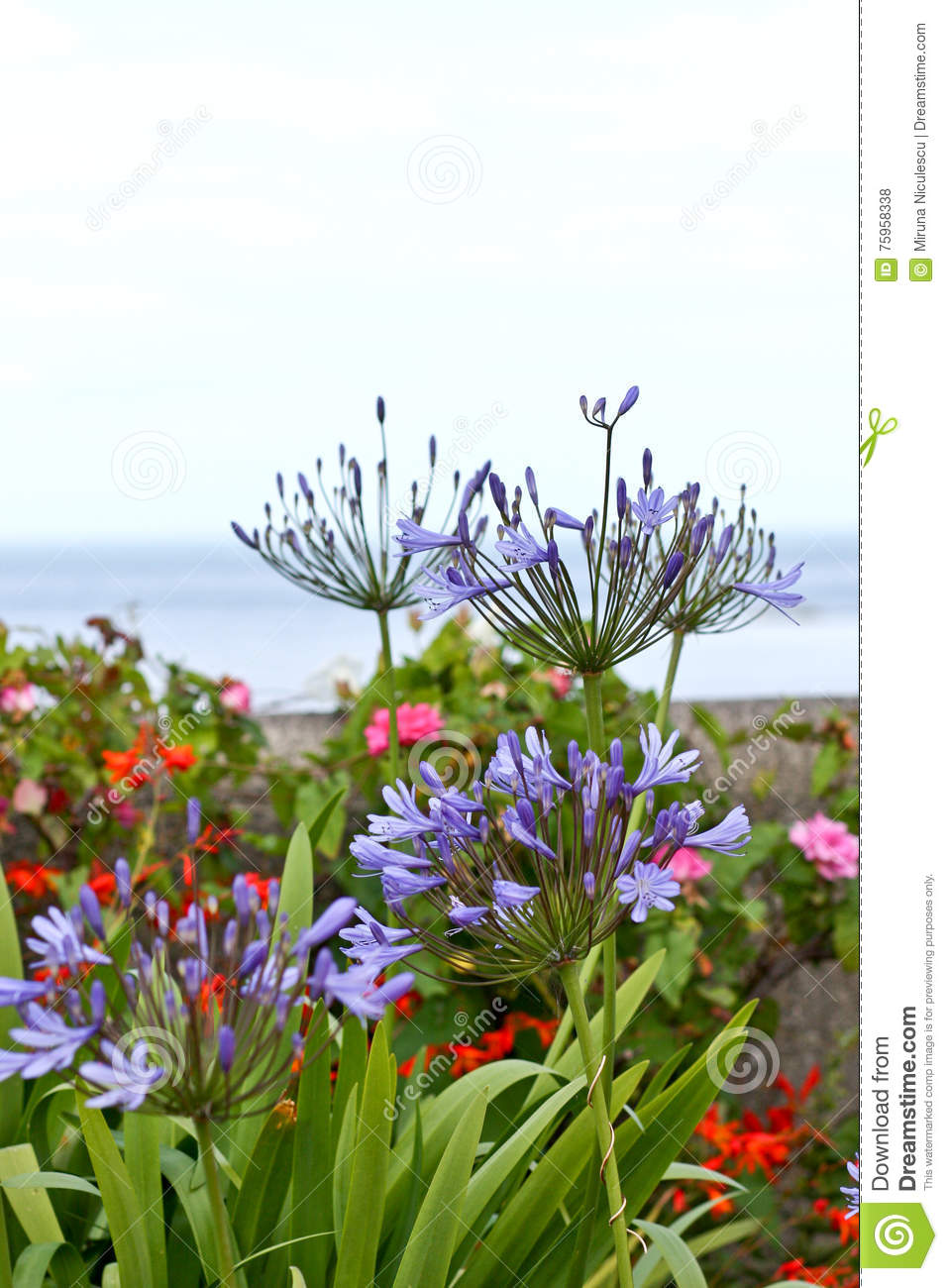 Lily of the nile flowers in a garden stock photo image of download comp izmirmasajfo