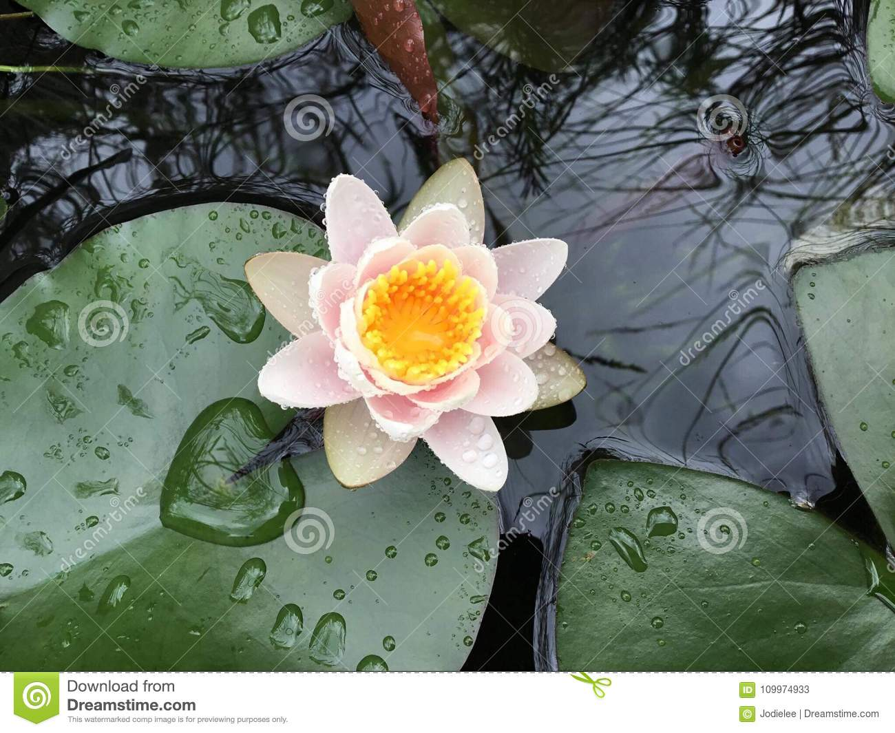 Lily Pad Pond With White Pink And Yellow Flower Stock Image Image