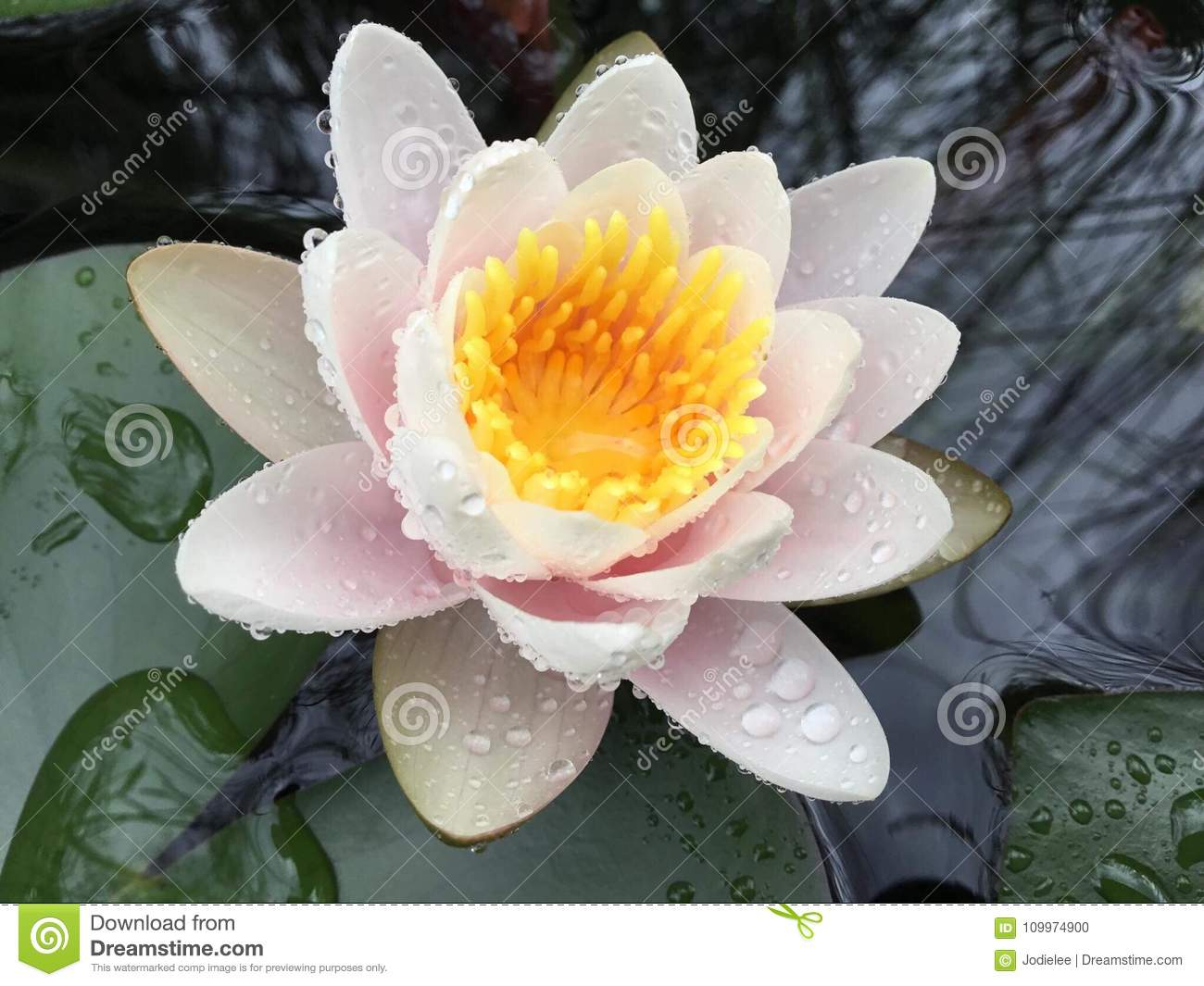 Lily pad pond with white pink and yellow flower stock photo image lily pad pond with white pink and yellow flower izmirmasajfo