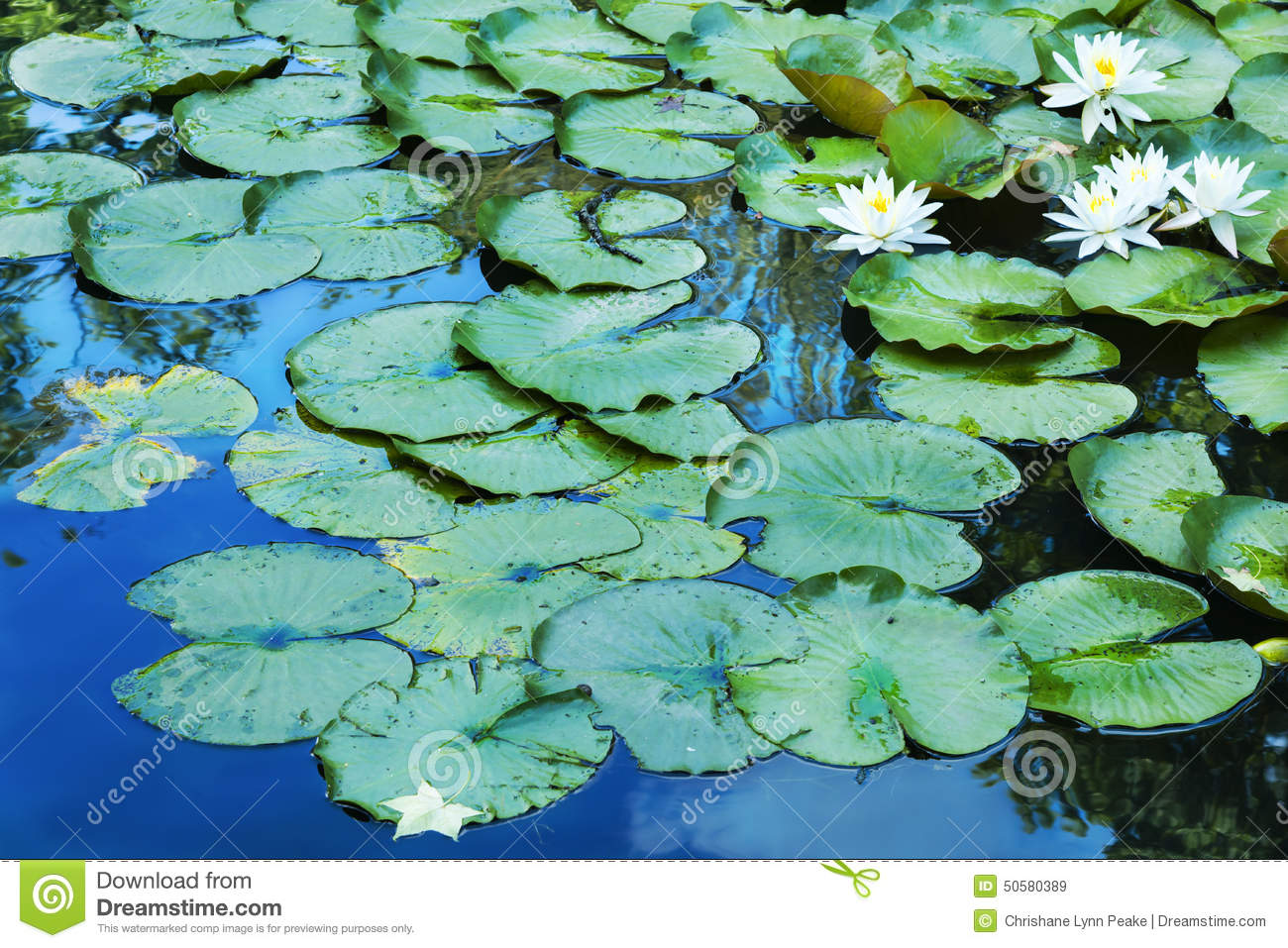 Lily Pads on Blue Reflections