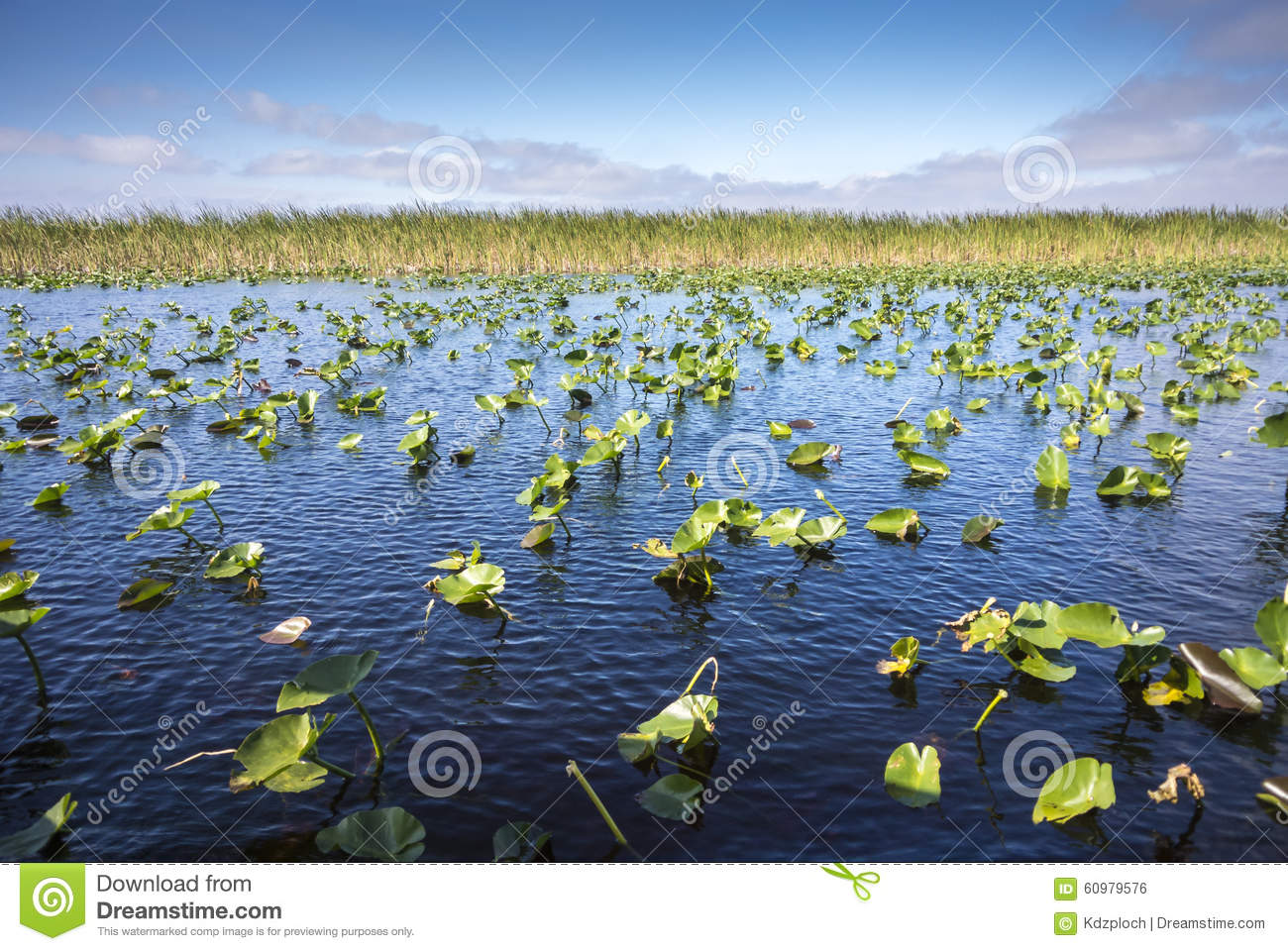 Lily Pads in the Everglades